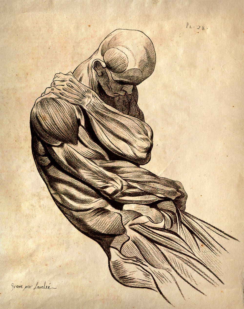 11x14 Vintage Anatomy. Muscle Sketch Human Body. Science - 009 ...