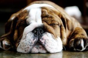 Bulldog by tonya