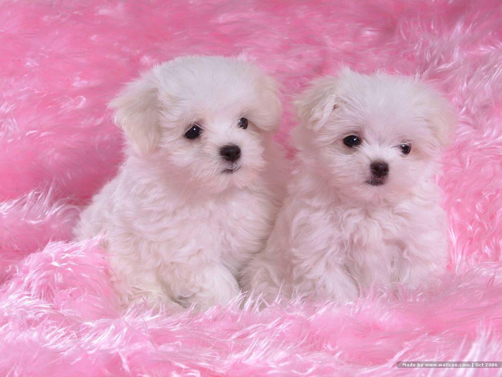 Cachorros de Bichon Frisé