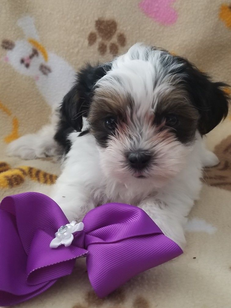 Shih Tzu Puppies For Sale In Ohio Cleveland Ideas