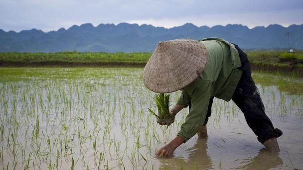 BBC/Lonely Planet photo gallery on Vietnam's rice fields