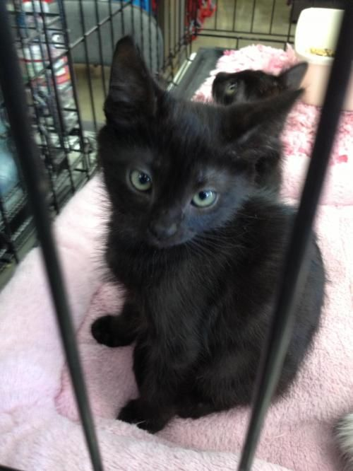 Ryuk Burmese Bombay Cat Cerritos Ca Http Bit Ly 1i7xnip