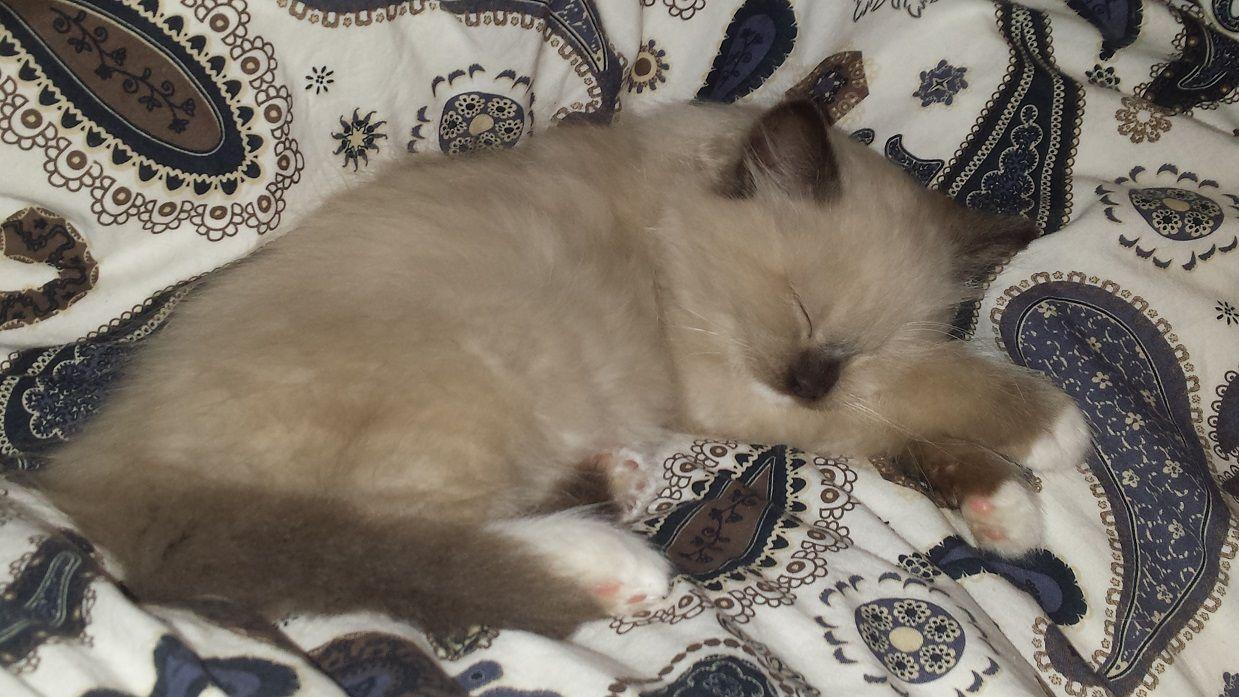 Atom Ragdoll Kitten Of The Month Kittens Cute Cats Baby Animals