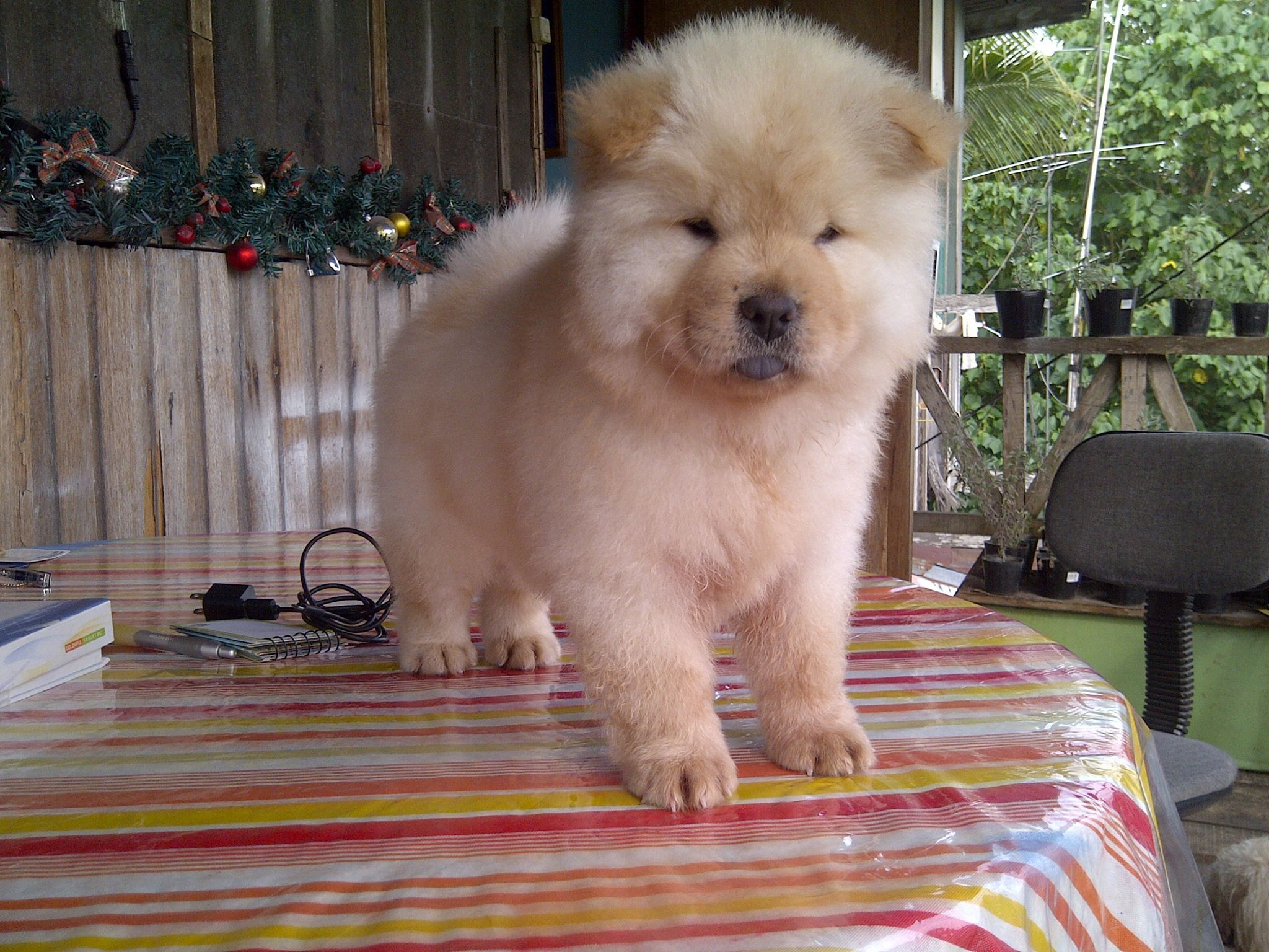 My Very Cuddly 2 Month Old Chow Puppy Named Dodong Puppies