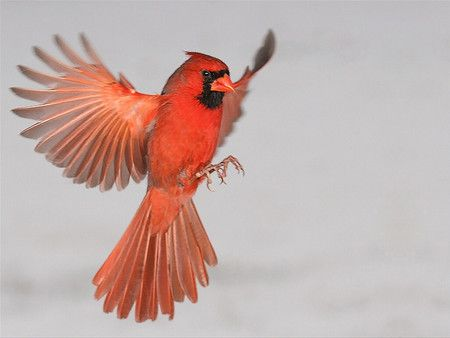 Red Cardinal Wallpaper Cardinal In Flight 2 Red Photography