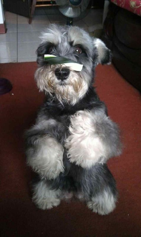 Look at that sweet schnauzer face! So patient! Let the adorable puppy eat that treat!