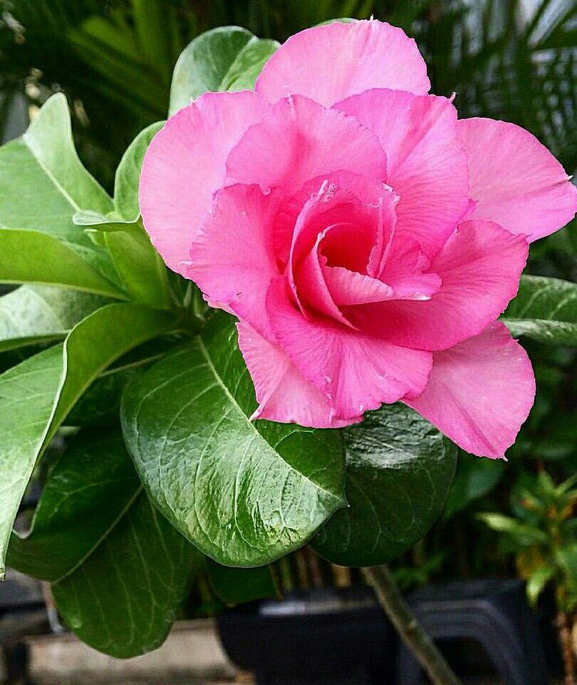 pingl par myl ne sur toutes les fleurs orchid e rose rose du d sert et fleurs. Black Bedroom Furniture Sets. Home Design Ideas