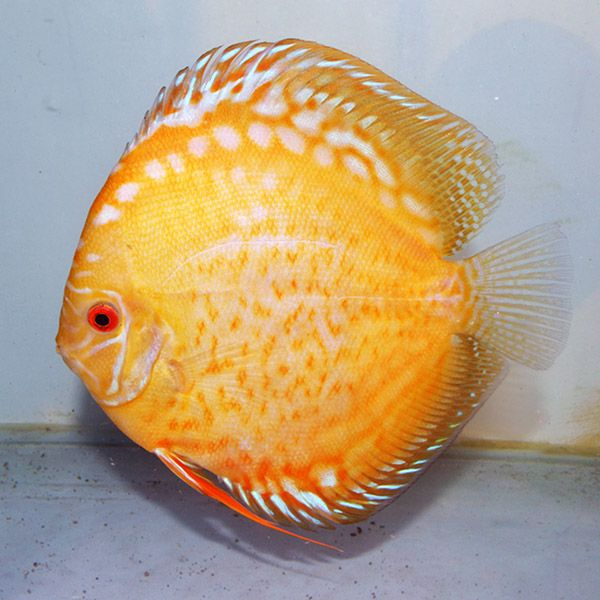 Biot pica criadero de peces disco y muchas m s cosas for Criaderos de pescados colombia