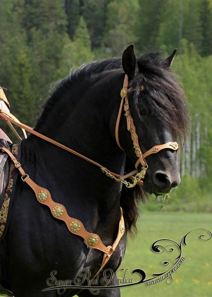 friesian horse with custom bridle and breastplate with