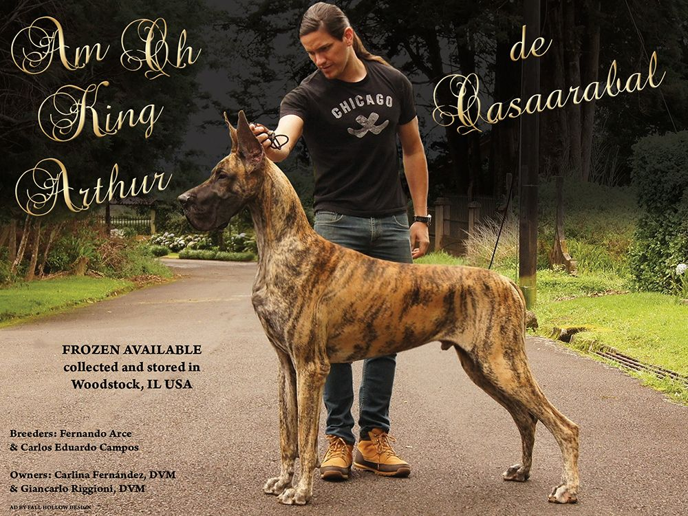 Home Back to Stud Galle Great dane, Dog cat, Beautiful dogs