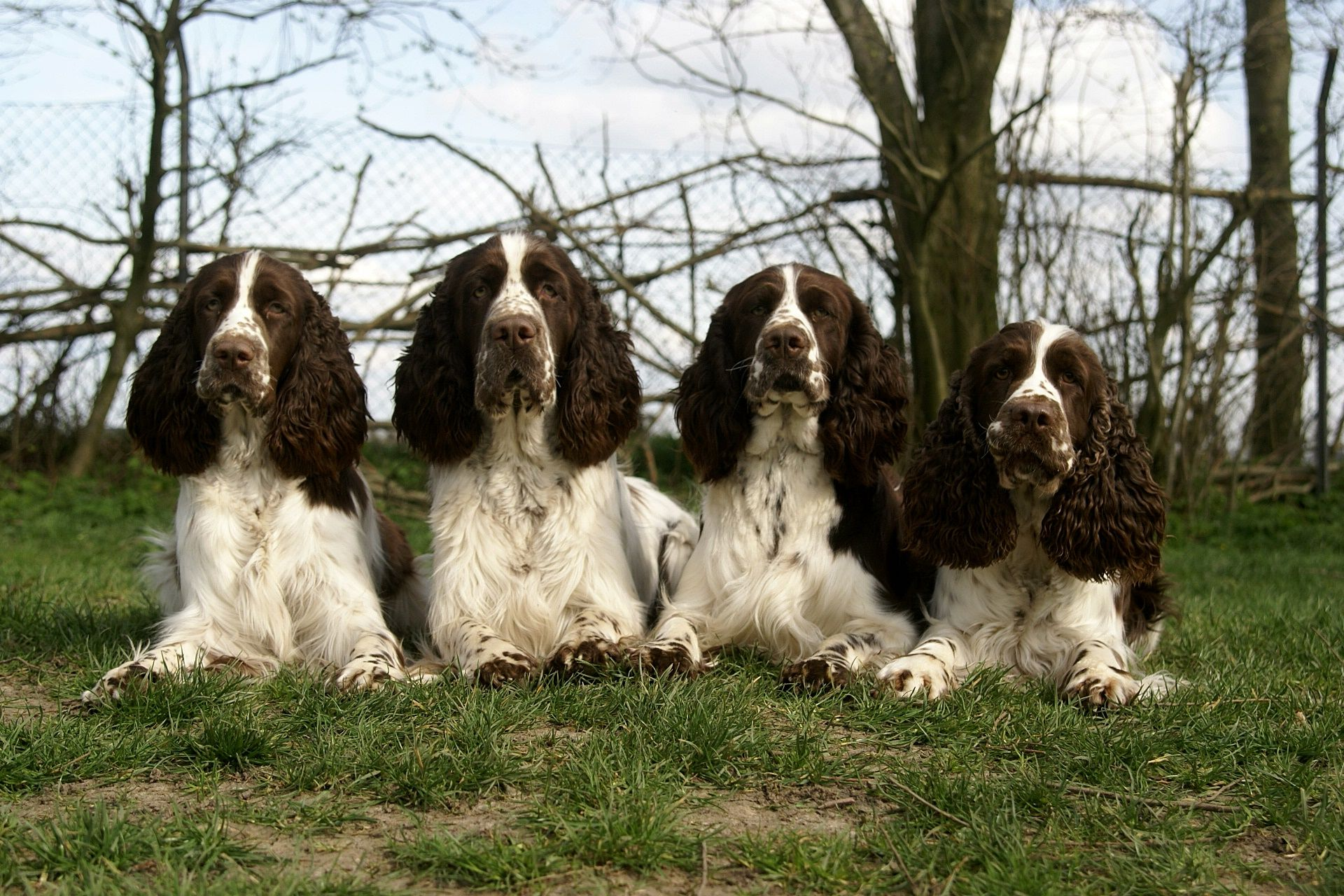 Pin By Yesteryear Primitives On Love Those English Springer Spaniels English Springer Spaniel Springer Spaniel Springer Spaniel Puppies