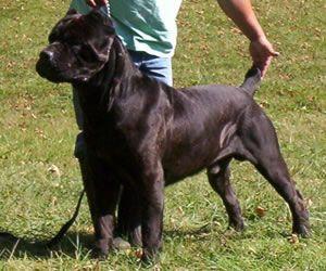 45 Italian Corso Dog For Sale In 2020 Corso Dog Cane Corso Italian Mastiff Puppies
