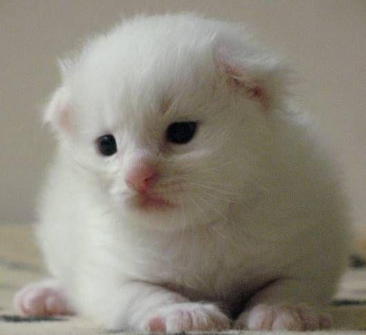 Siberian Kittens For Adoption In Michigan Siberian Cat Cat For Adoption Birman Cat Siberian Cat Kitten Adoption Cat Adoption