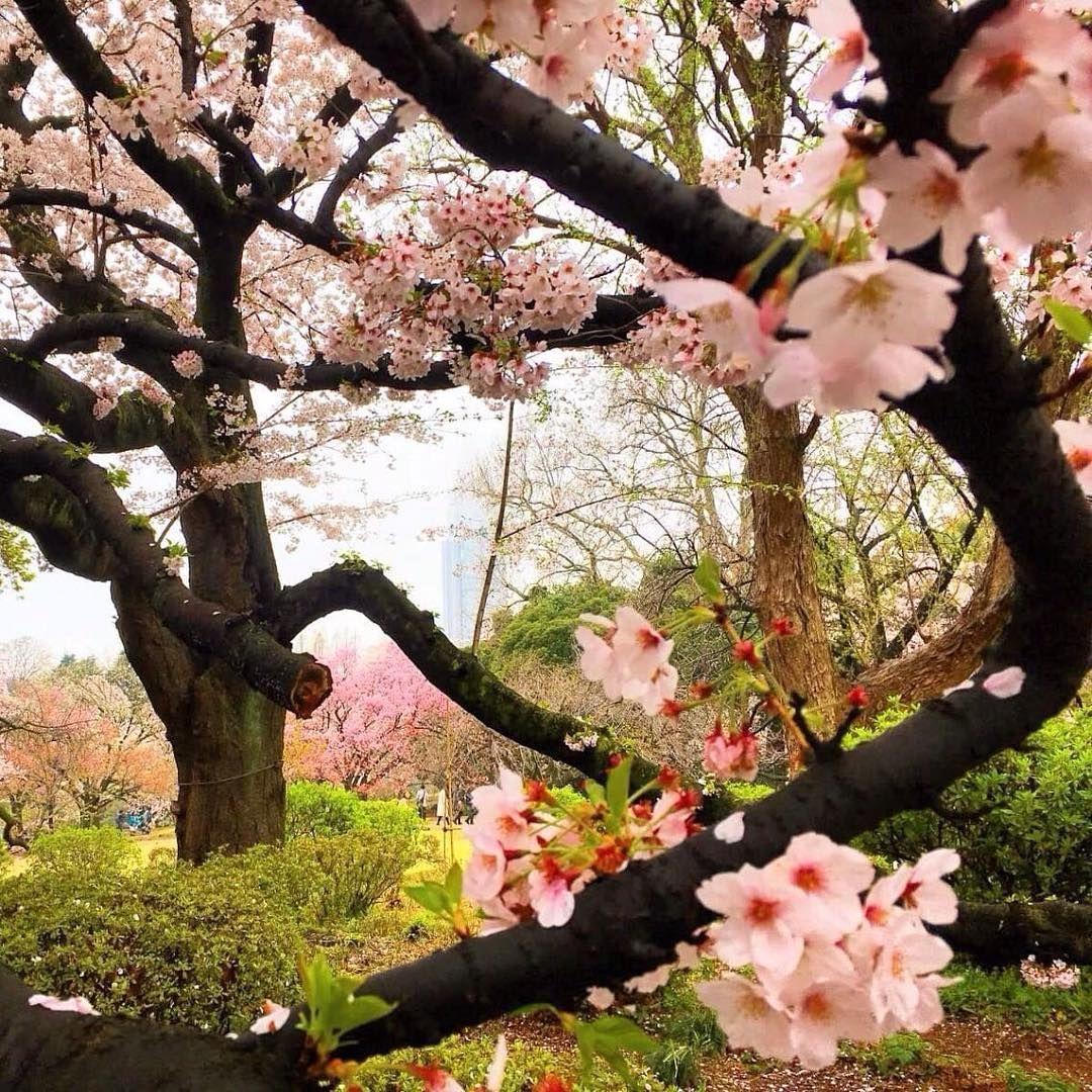 2021 Japan Cherry Blossom Forecast Jrailpass Cherry Blossom Japanese Cherry Blossom Cherry Blossom Tree
