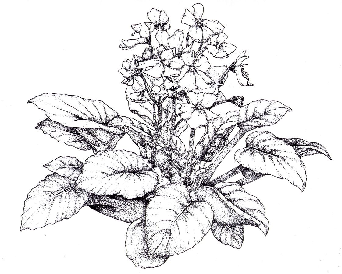Line Drawing Violet : African violet illustration google search botanical