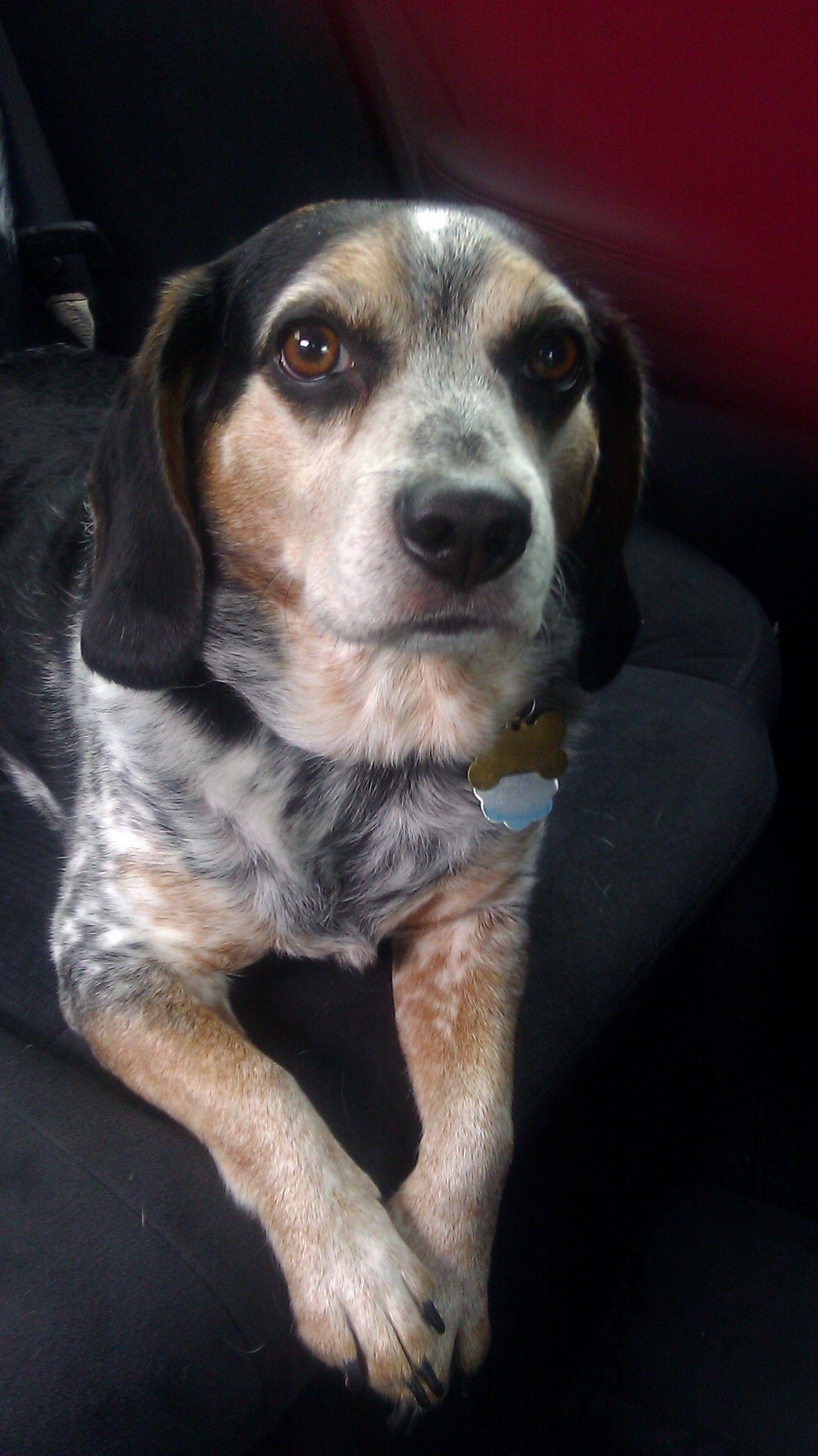 If I Don T Have A Blue Tick Beagle Then I Failed Beagle Dog
