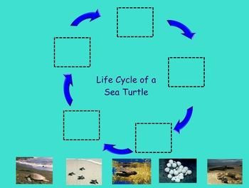 Science: animal life cycles on Pinterest | Life Cycles, Sea ...