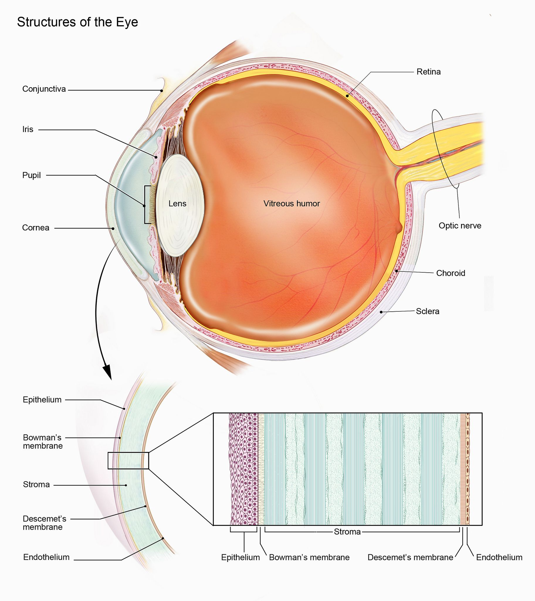 Picture from the NEI showing the anatomy of the eye and layers of ...