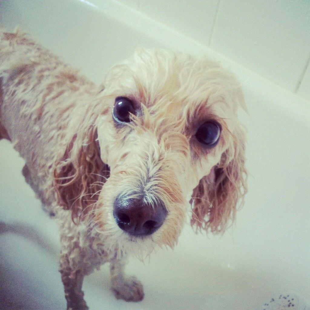 Dog Bath Cavoodle Poodle Cross Dog Bath Poodle Mix Dogs