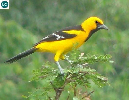 https://www.facebook.com/pages/THI%C3%8AN-NHI%C3%8AN-K%E1%BB%B2-TH%C3%9A/171150349611448?ref=hl Vàng anh tân thế giới Altamira, Bắc và Trung Mỹ | Altamira oriole (Icterus gularis)(Icteridae)(Icterus) IUCN Red List of Threatened Species 3.1 : Least Concern (LC) | (Loài ít quan tâm). Altamira là một đô thị thuộc bang Tamaulipas, Mexico.