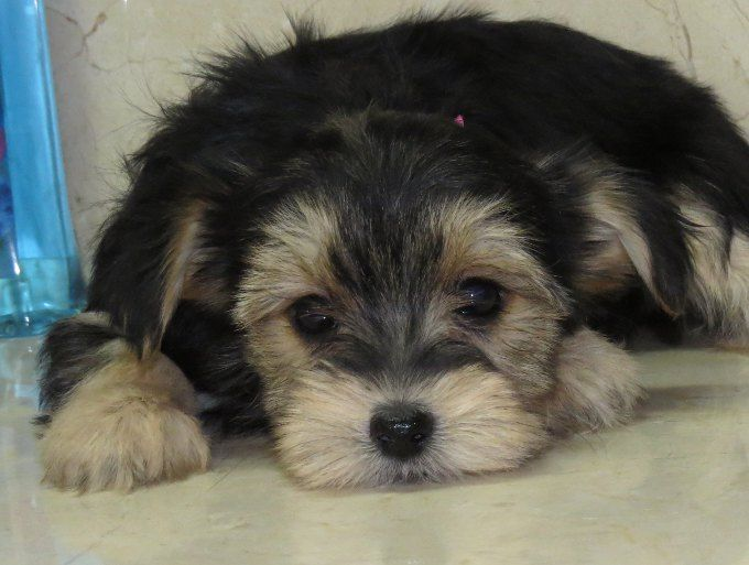 Www Ohpuppylove Com Dog Breeds Including Morkies