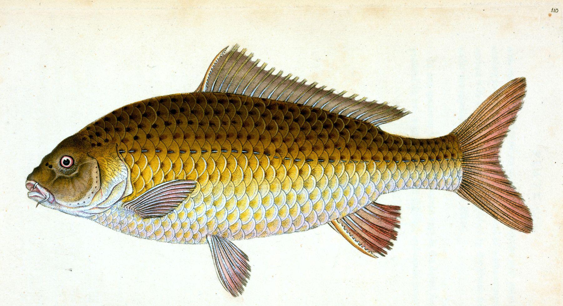 12 Free Fish Clipart Vintage Illustration Fish Clipart Fish