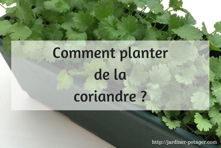 comment planter de la coriandre