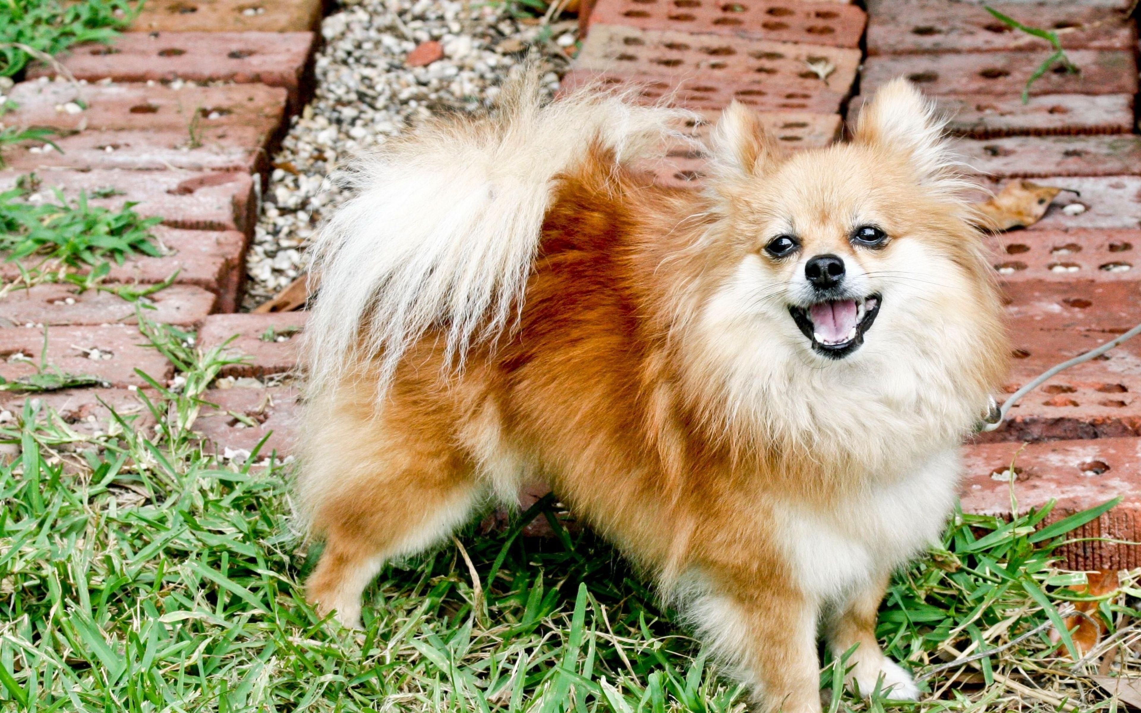 Pin By Marie Levaye On Poms Pinterest Dogs Pomeranian And Dog