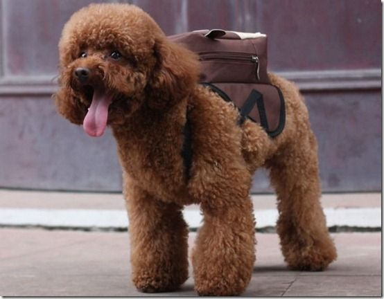 Why Do You Think Poodles Are The Smartest Dogs We Go To School