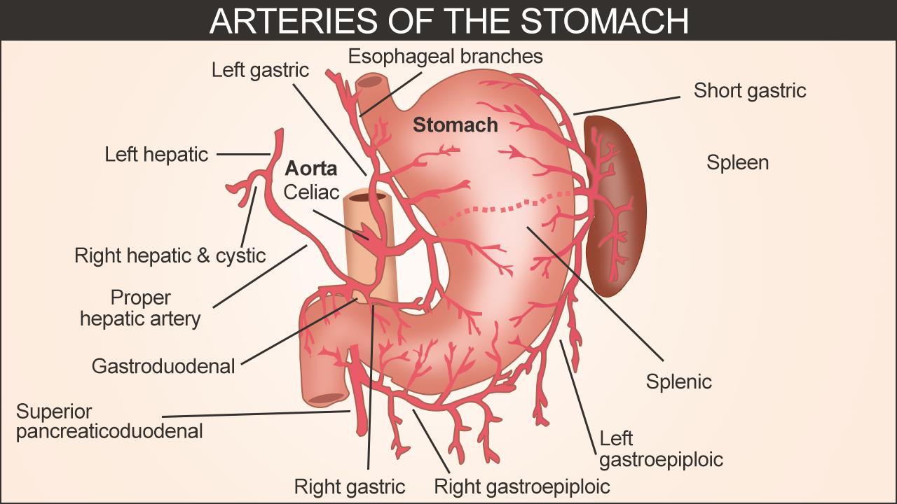 Arteries Of The Stomach Stomach Anatomy Arteries