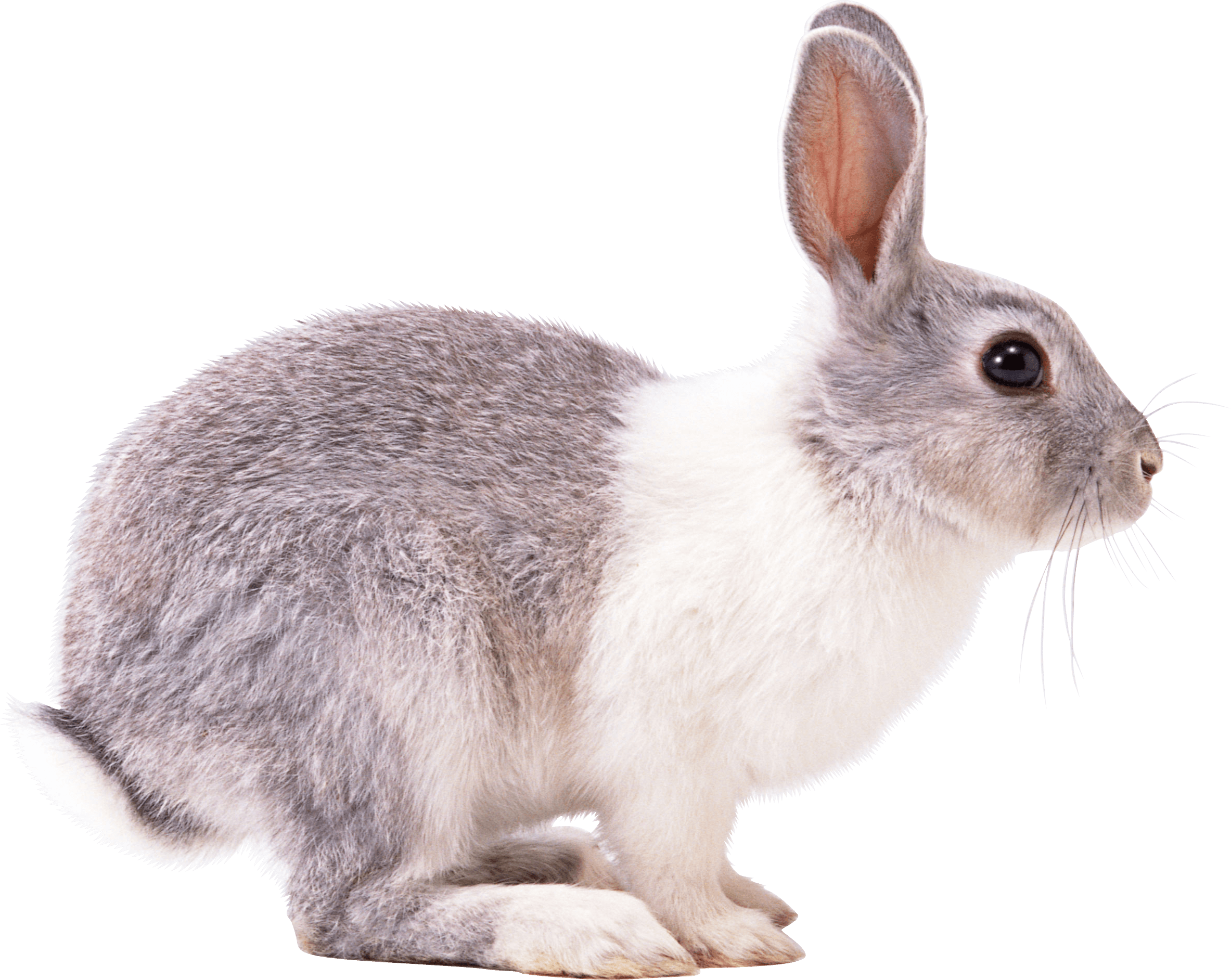 White Gray Rabbit Sideview Png Image Rabbit Png Rabbit Pictures Rabbit