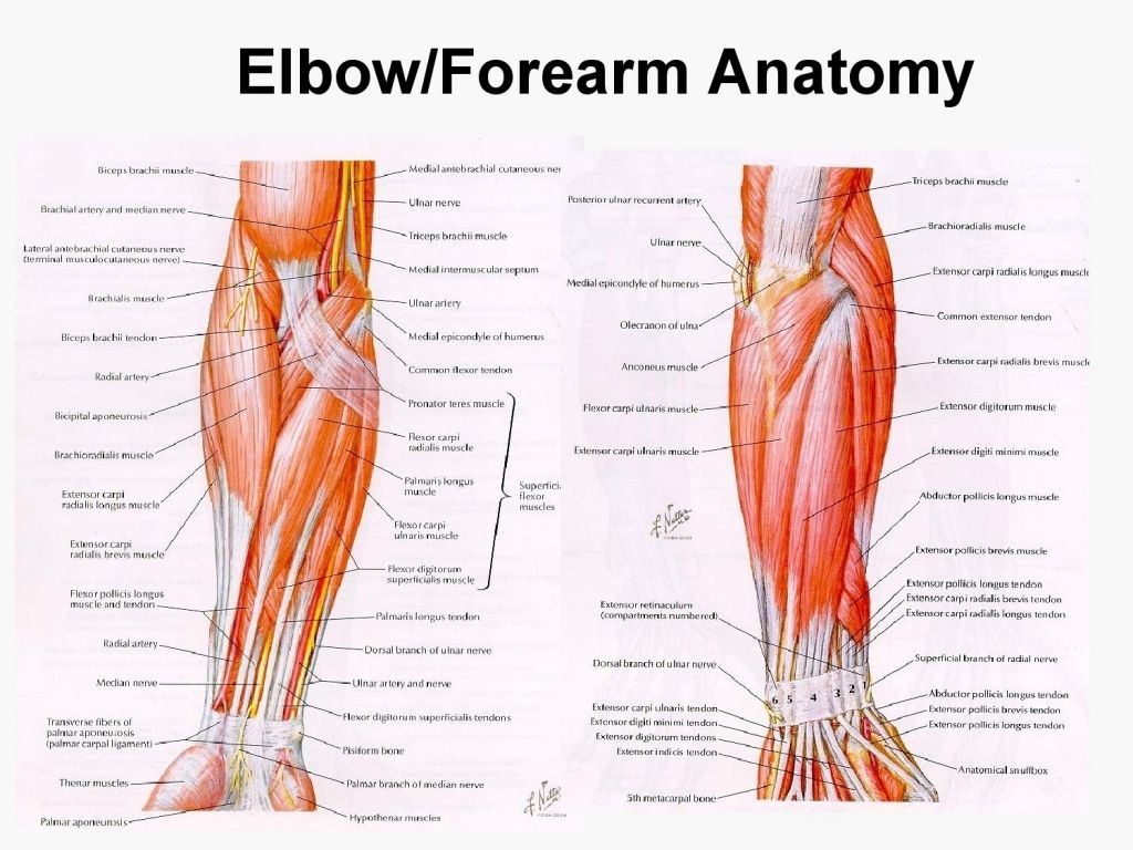muscles in the arm diagram - koibana.info in 2020 | upper limb anatomy, arm  muscle anatomy, forearm anatomy  pinterest