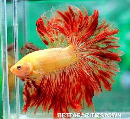 Live betta fish orange red yellow hm male 4515 raging sun for Red betta fish
