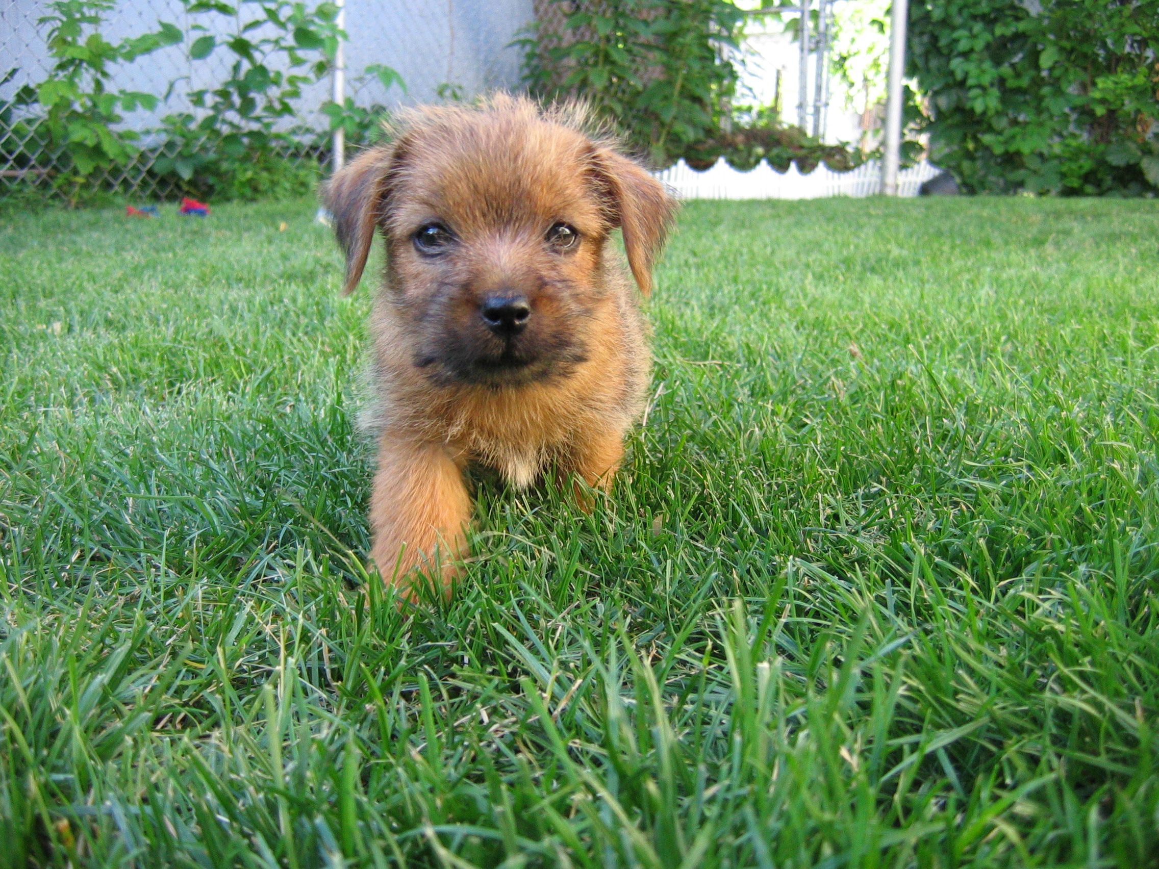 Another Picture Of 8 Week Old Henry Awww Norfolk Terrier Norfolk Terrier Puppies Norfolk