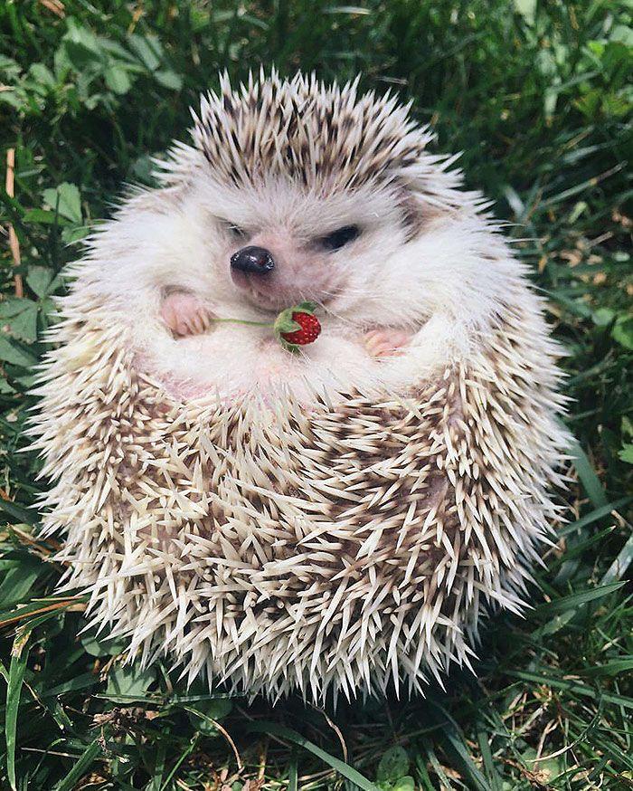 Baby Hedgehog Hedgehogs Animal And Hedge Hog - Darcy cutest hedgehog ever