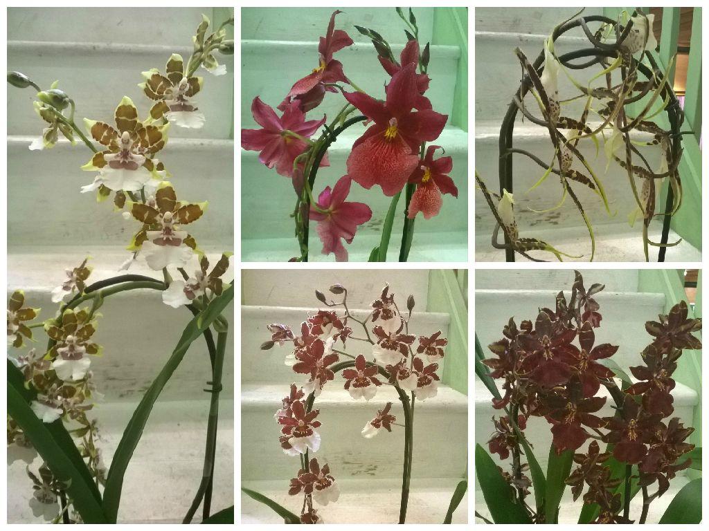 Cambria orchid plants on sale at jemini flowers oxford jemini cambria orchid plants on sale at jemini flowers oxford jemini izmirmasajfo