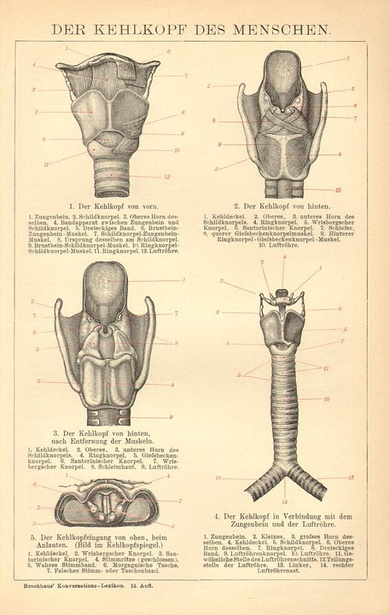 1903 Anatomy Of The Larynx Or Voice Box By Cabinetoftreasures Home