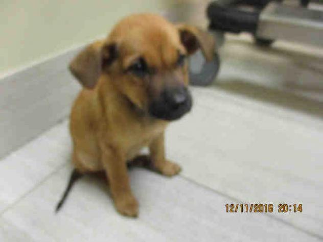 12/22/16-Dog • German Shepherd Dog & Mixed Breed Mix • Baby • Male • Small Corpus Christi Animal Care Services Corpus Christi, TX Pet ID: A281027
