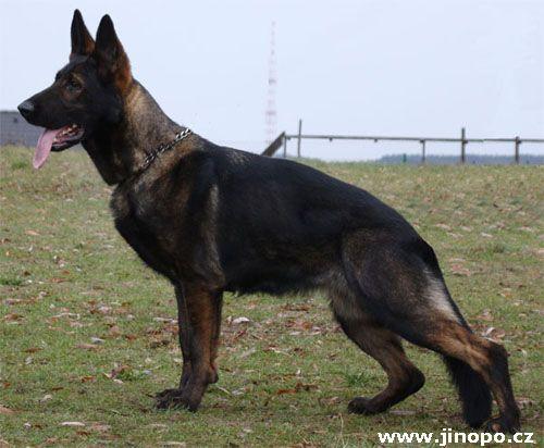 The True German Shepherd Ddr Bloodlines German Shepherd Dogs Sable German Shepherd Gsd Dog