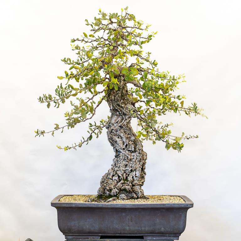 Early Branch Work On Large Cork Oak Bonsai Bonsai Tonight Bonsai Trees For Sale Bonsai Tree Bonsai Tree Care
