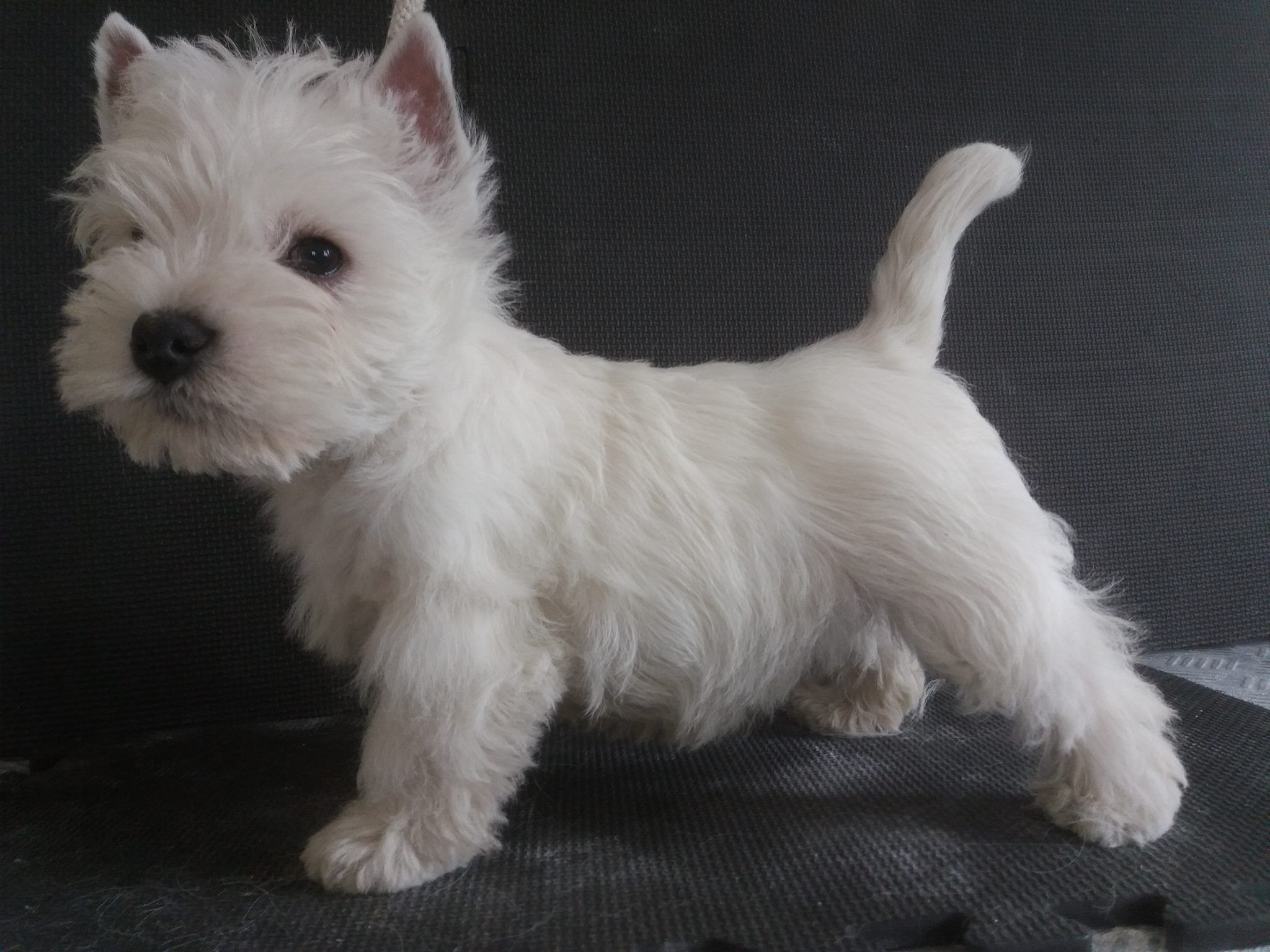Say Hallo To Murphy 10 Weeks And First Trim Westie Puppies Baby