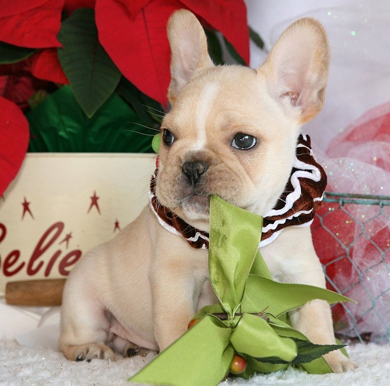 Pin By French Bulldog Puppies For Sale Amazing Frenchie Pups On