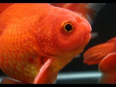 White Spots On Goldfish Fins Breeding Tubercles 101 Goldfish White Spot Underwater Plants