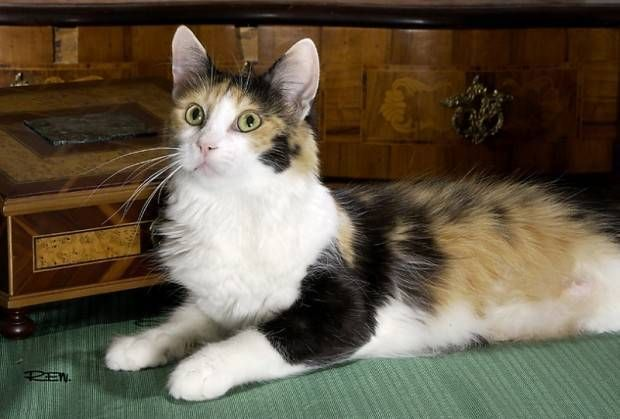 Photo of Angora   Todo sobre la raza de gato de angora