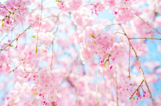 18 Things You Didn T Know About Cherry Blossoms Cherry Blossom Tree Blossom Trees Pretty Flowers Pictures