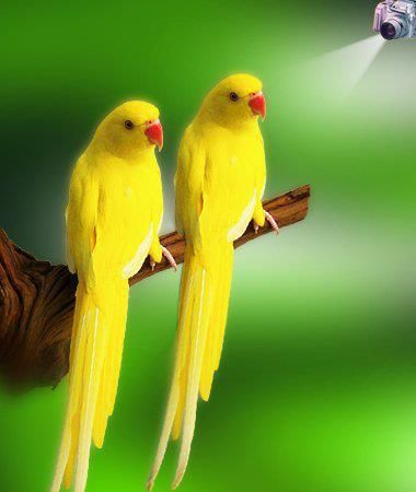 The indian ringneck parrots known as the ring necked parakeet is the indian ringneck parrots known as the ring necked parakeet is a gregarious voltagebd Images