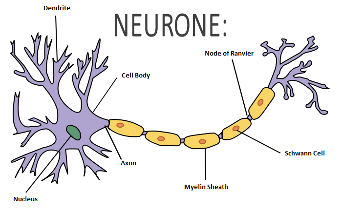 nerve cell diagram | знания in 2019 | Brain twister, Diagram, Neurons