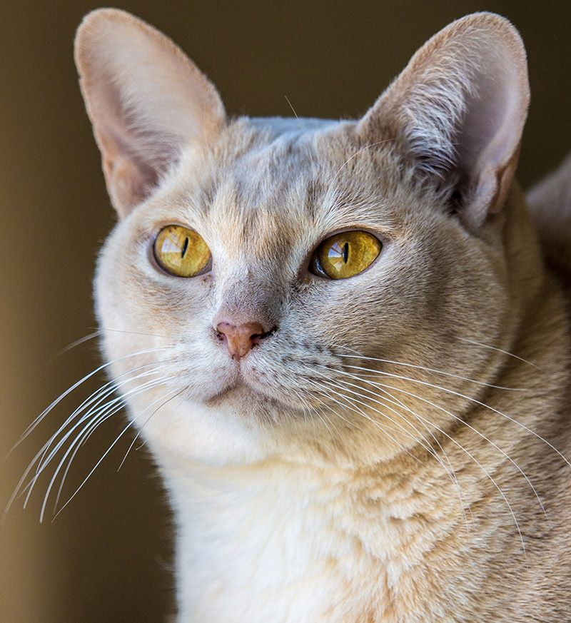 The Burmese Cat A Complete Guide To The Breed Burmese Kittens
