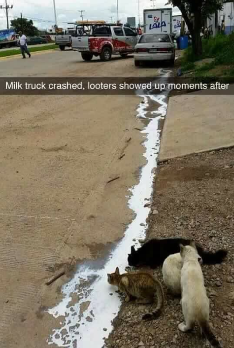 Rather than cry over spilled milk, cats take advan