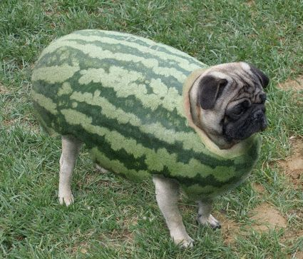 Watermelon Pug Pugs Funny Cute Animals Funny Animals